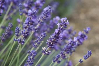 lavender and vintage festival