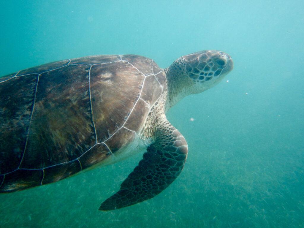akumal - turtle close up (playa del carmen - tulum mexico)