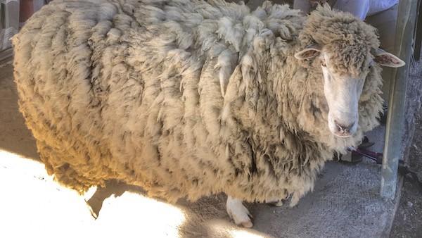 Australia Farm Big Sheep Bella