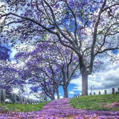 Brisbane - Jacarandas - Goodna 01