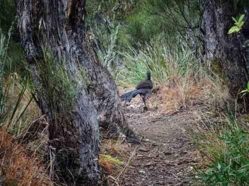 Wollomombi - Lyrebird