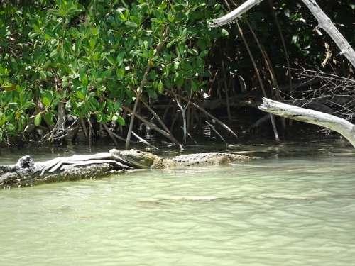 Rio Lagartos - Crocodile