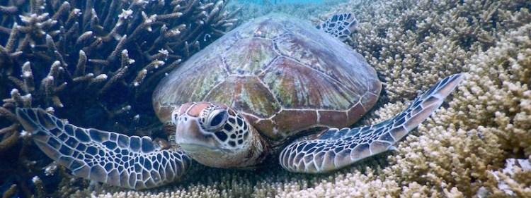 Heron Island - Snorkelling with turtle 01