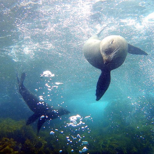Montague Island Dive with Seals 01