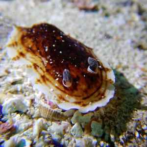 Montague Island Nudibranch 02