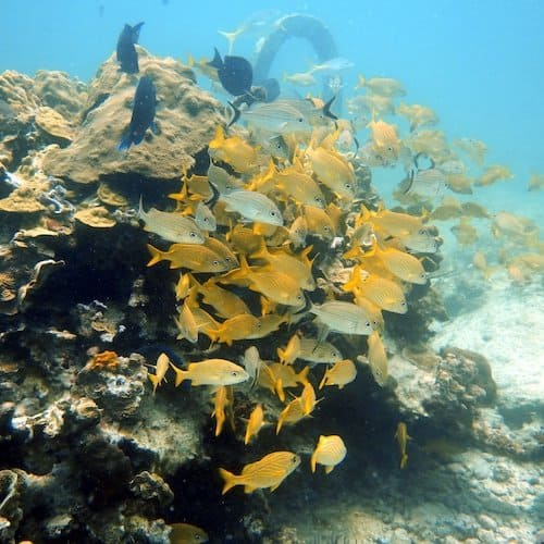 The MUSA Diving Cancun Underwater Museum - Manchones Reef - School of fish