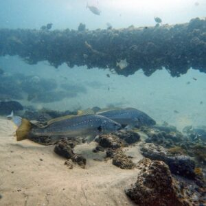 Gold Coast Seaway diving - jewfish