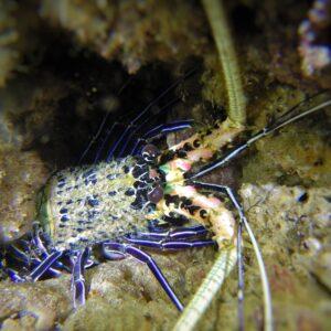 Gold Coast Seaway night dive lobster