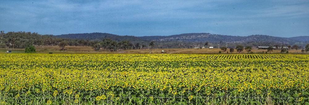 Brisbane Sunflower Fields Allora