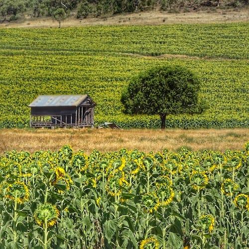 Sunflower Fields Allora Brisbane Road trip