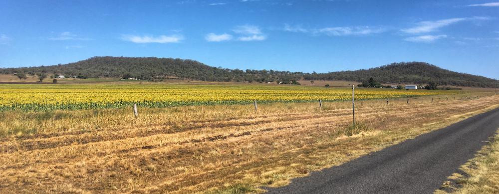 Sunflower Fields Brisbane Region Australia
