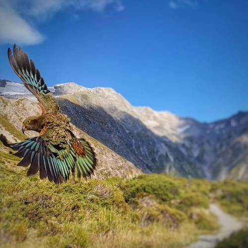 Kea flying at Sealy Tarns in New Zealand
