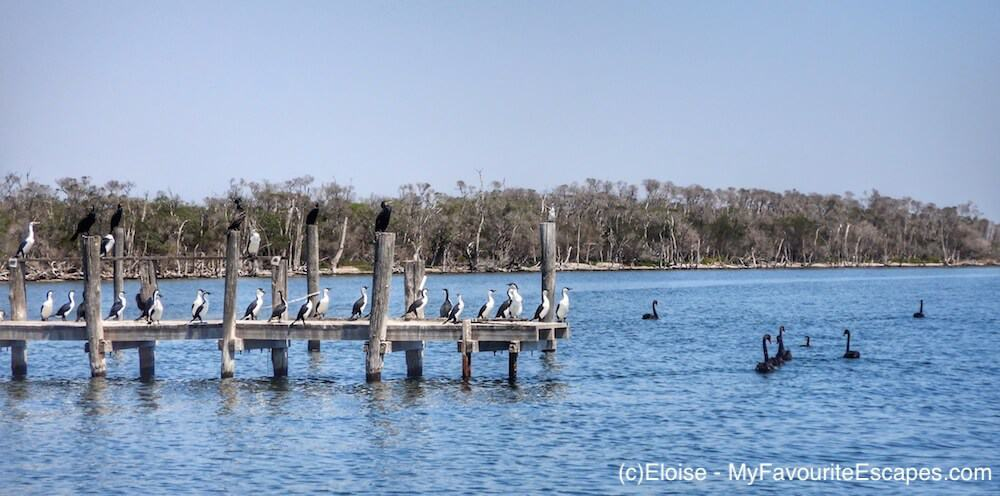 Birds on a pontoon in Gippsland Lakes