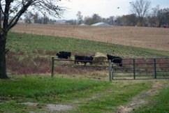 birds in pasture