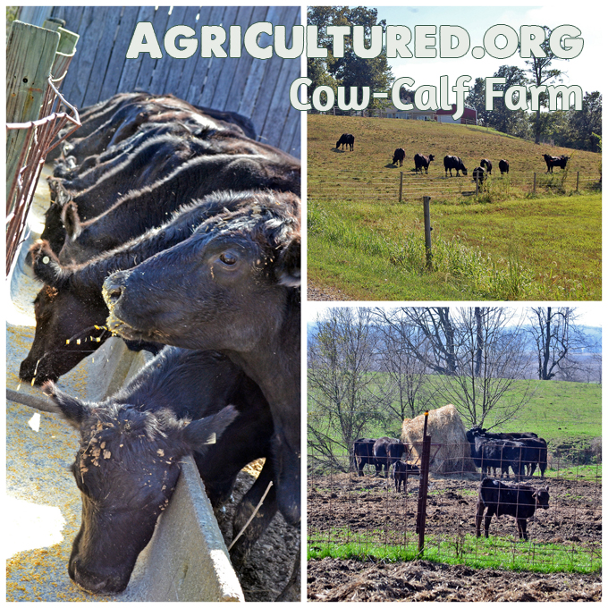 Most beef cows on cow-calf farms live outside on pasture all year long. Even though they mostly eat grass, they do still need some extra hay and grain.