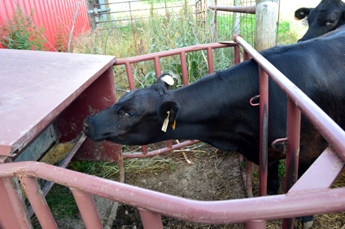 yearling heifer trying to reach feed