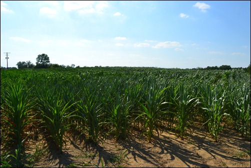 10 week corn