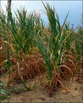 dying corn plants