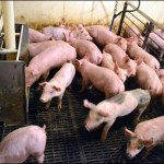 Nursery and finishing barns for pigs