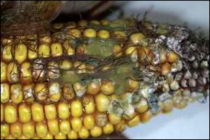 aflatoxin-in-corn-300x199