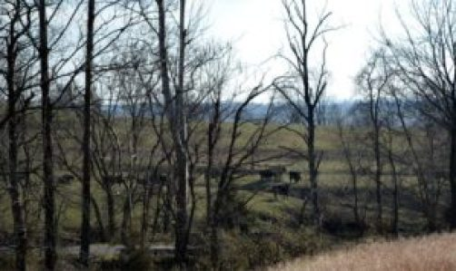cows through the trees