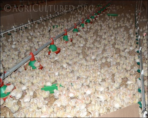 group of ten day old turkey poults