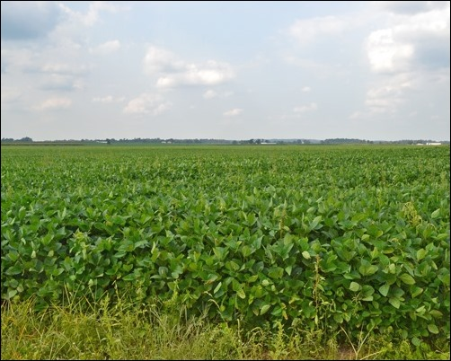 soybean field Aug 19 2013
