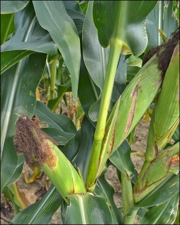two ears of corn on one stalk