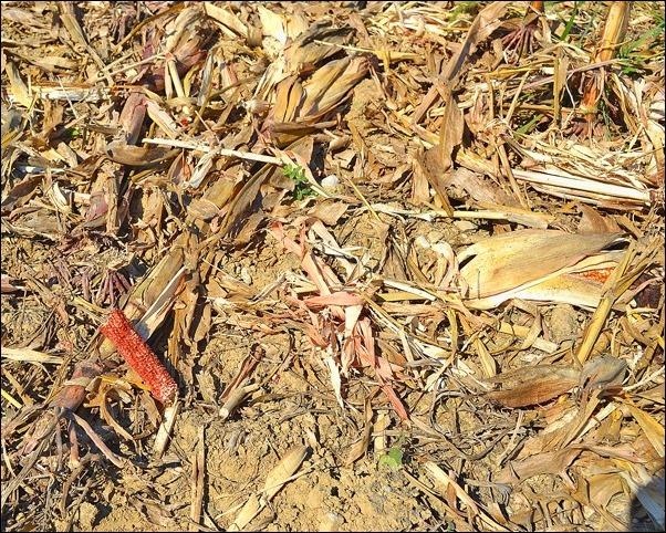 corn stalk residue