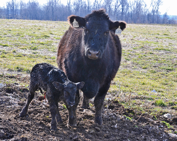 beef calf #3F05 just born. she grew up to be the heifer in the last photo./