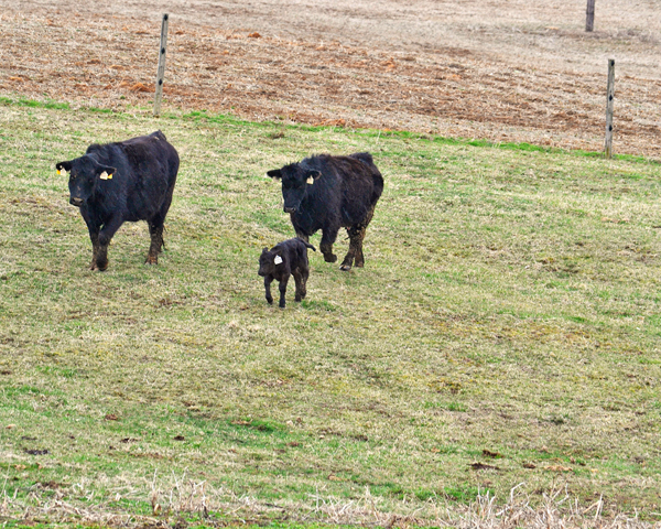 just a day on the farm with a running calf!