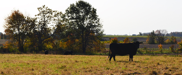 cows in the fall3