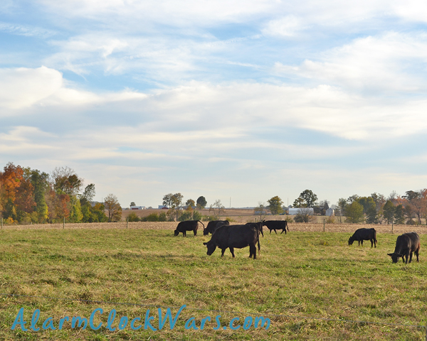 beef cows are hanging out in their fall pasture
