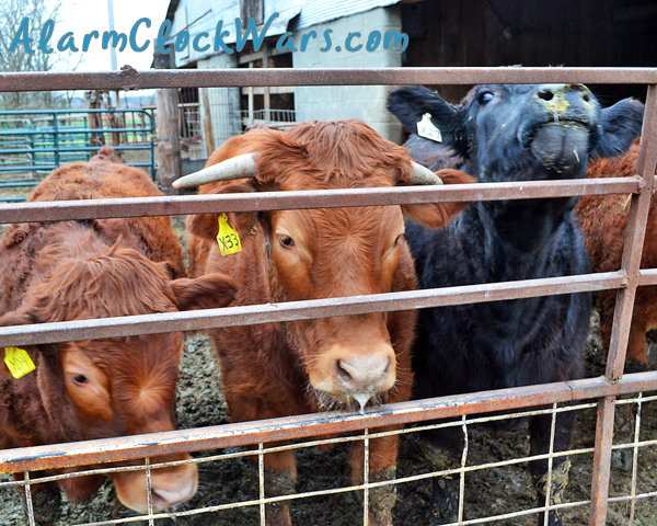 Cattle are fed out in a feedlot. They are allowed to eat as much as they want until the reach around 18 months or 1200 pounds.