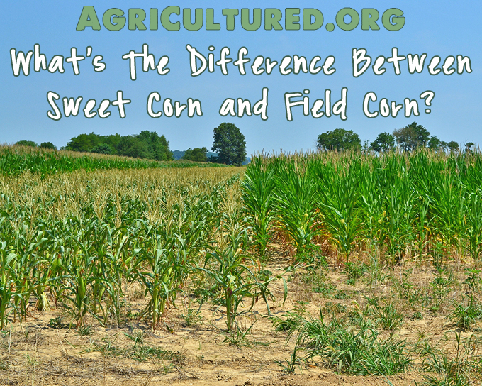 Sweet corn is very different from field corn. Find out the differences in how they are harvested and used for food.