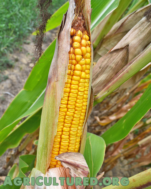 Field corn looks different from sweet corn, and has different uses.