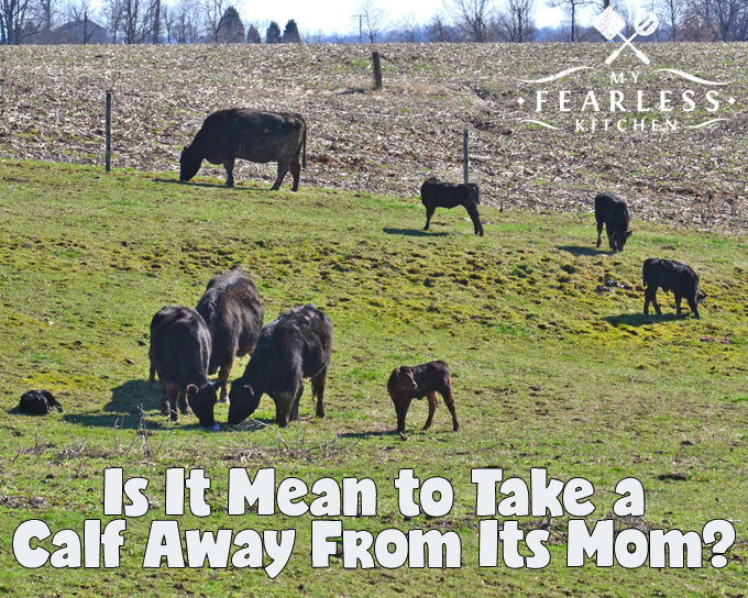Is It Mean to Take a Calf Away From Its Mom? from My Fearless Kitchen. In every cow's life, it's eventually time to take a calf away from its mom. It's part of farming, and part of raising animals. Is it mean? No. It's a part of life.
