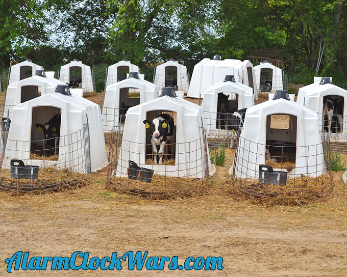 dairy calves live in houses called hutches