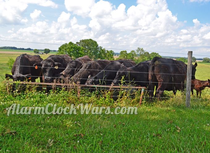 We have a cow-calf farm. That means we keep the adult cows, but sell the calves every year.