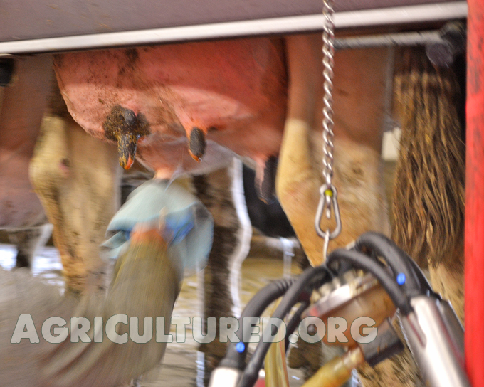 Milking cows is an every day job. Each cow gets her udder cleaned before she is milked.