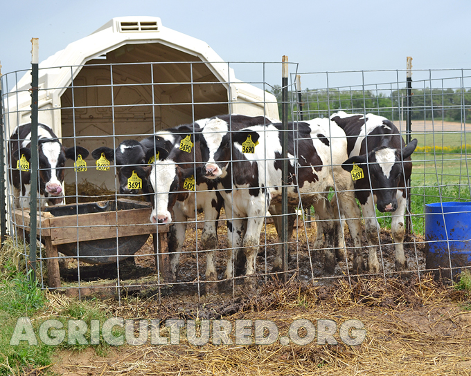 Dairy calf housing. Some dairies put older calves together in a group hutch.