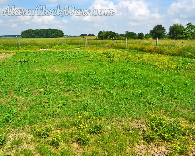 Fertilizing with cow manure means weeds try to take over the corn.