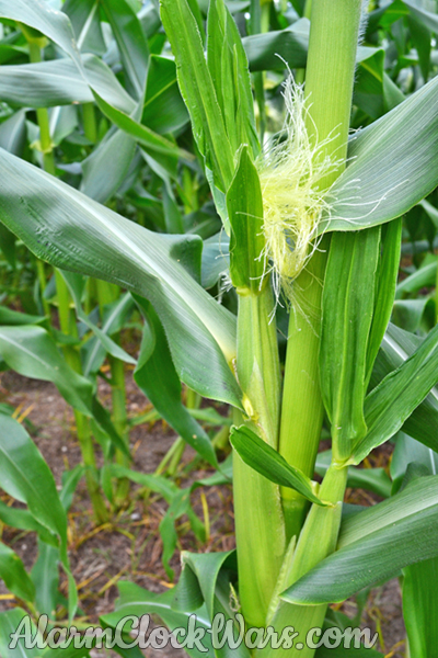 The silks on the growing ears catch pollen from the tassels. This allows the corn kernels to develop.