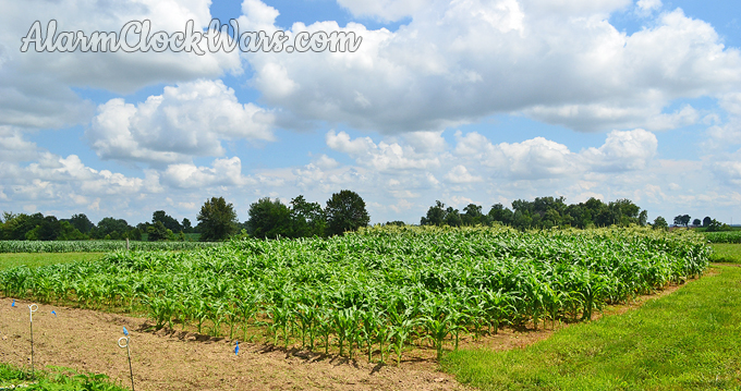 Four plantings of sweet corn means that there will be fresh sweet corn getting ripe for 6 weeks!