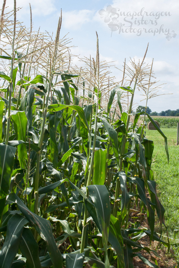 Less than 1 percent of the corn grown in the US is sweet corn.