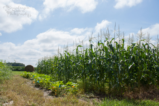 sweet corn patch in a large garden against a blue sky