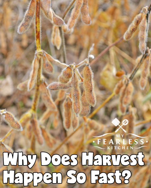 Why Does Harvest Happen So Fast? from My Fearless Kitchen. It seems like farmers are in a race to get harvest finished. You might hear about farmers working from dawn until well after sunset - sometimes working 18 hour days or longer - to get their crops harvested. Why does harvest happen so fast?