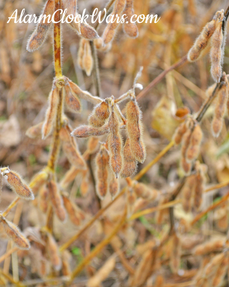 Soybeans are ready to harvest when they begin to dry out and the leaves fall off the plants.