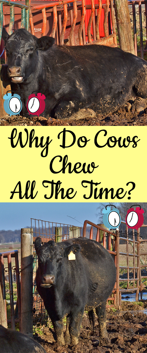Drive past a cattle farm any time, and you're likely to see cows doing one of three things. Chances are that they will either be eating, sleeping, or chewing. Why do cows chew all the time? It's all about nutrition!