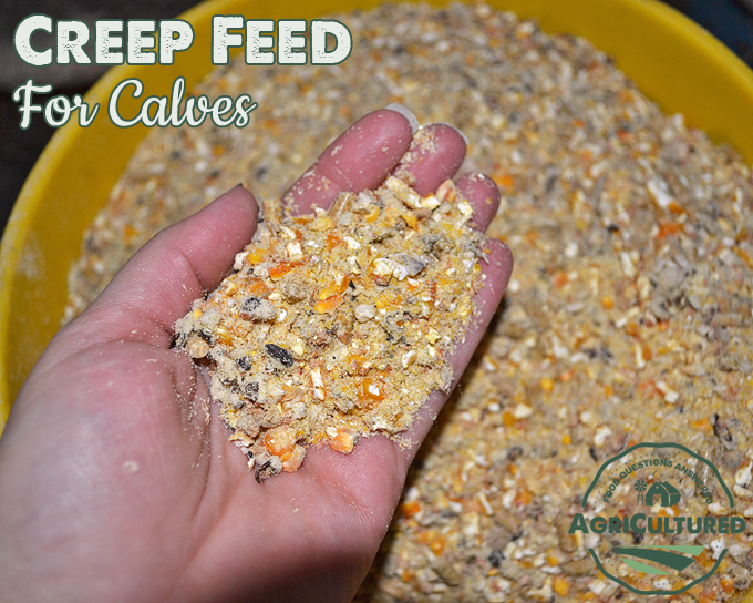 Our calves and heifers (young calves) get creep feed instead of cracked corn. Creep feed has more protein and vitamins that our growing animals need.